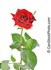 rose, laisse, arrière-plan vert, blanc rouge