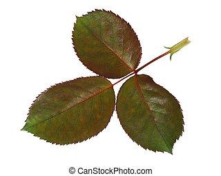 Rose leaf on white