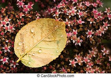 Rose leaf with drops on sedum - End of summer - Fallen Rose...