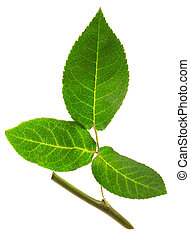 Rose leaf with a stalk isolated on white