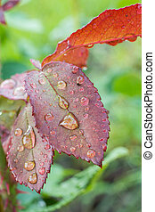 Rose leaves with water drops in the garden.