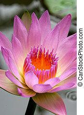 rose, lotus, eau, fleurs, fleurir, fleurs, lis, ou