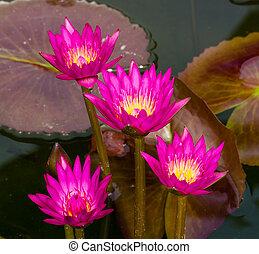 rose, lotus, fleurs, dans, thailand.