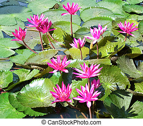 rose, lotus, lis, pond., eau