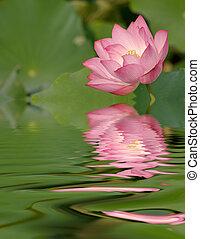 rose, lotus, réflexion eau