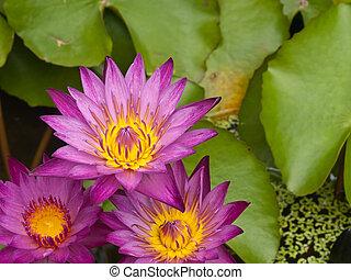 rose, lotus, trois, eau, fleurs, fleurir, étang, fleurs, lis, ou