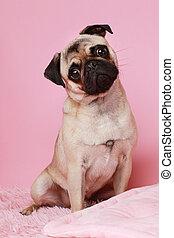 rose, mignon, chien pug, fond, mensonge