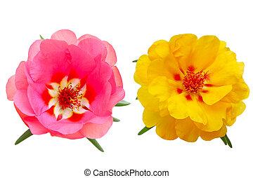 Rose Moss - Yellow and pink Portulaca Moss Rose, Purslane...