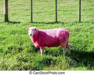 rose, mouton, champ vert