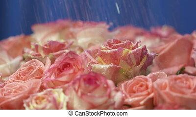 rose, mouvement, lent, pétales, eau, roses, eclabousse, gouttes, tomber, fleurs