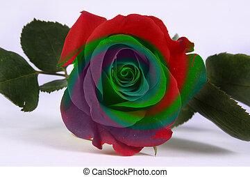 rose, multicolore
