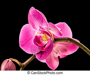 rose, noir, orchidée