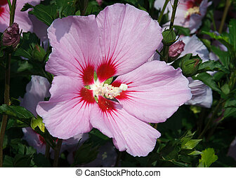 An orchid pink color Rose of Sharon flower blooms in the garden.