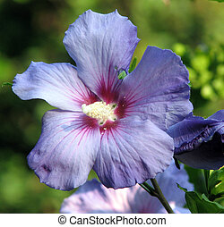Rose of Sharon, Althea Hibiscus syriacus