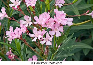 rose, oleander, fleurs