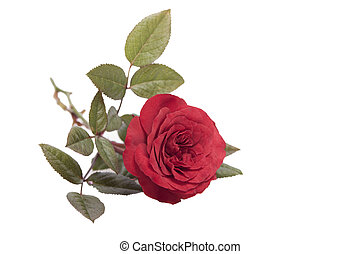 Rose on a white background.