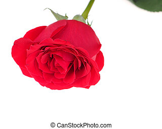 rose on a white background