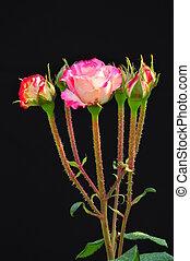 rose on black 1
