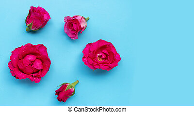 Rose on blue background. Top view