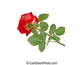 rose on white background