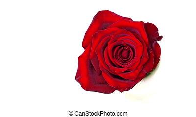 Rose on white Time-lapse