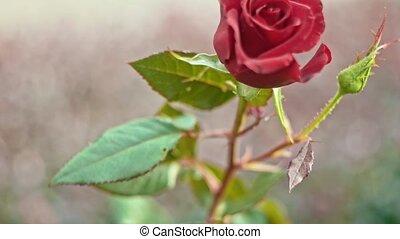 Rose on wind in slow motion - Rose shuttering on wind in...