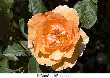 rose orange, #1