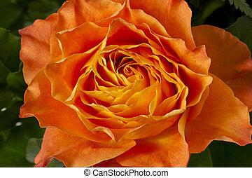 rose orange, 168