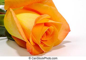 rose orange, 2