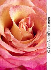 rose orange, fleur