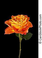 rose orange, fleur, sombre
