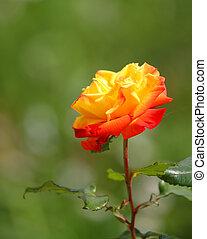 rose orange, jardin, rouges, grand