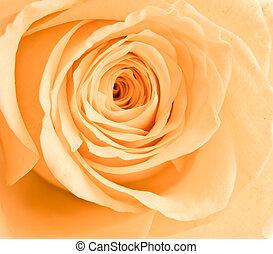 rose orange, pétales