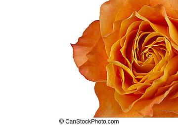 rose orange, tondu