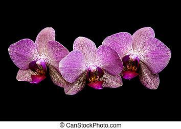 rose, orchidées