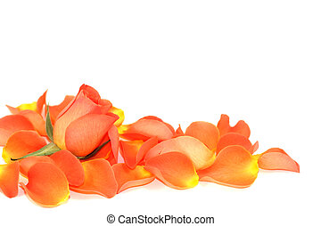 Rose over petals - Rose and petals isolated on white