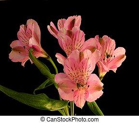 rose, péruvien, hybride, -, ligtu, alstromeria, lis