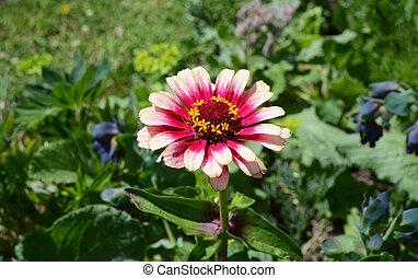 rose, pétales, whirligig, zinnia, fleur, multicoloured