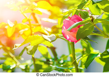 rose, parc, nature, beau, fond