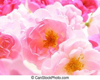 rose, pastel, rose