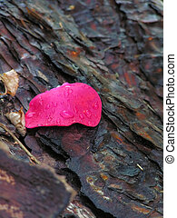 Rose petal on bark