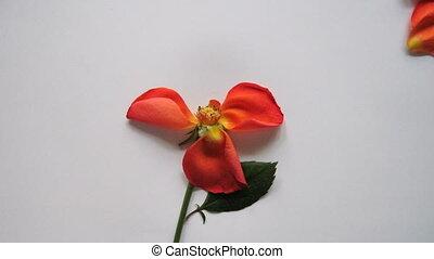 Rose petals assembles together animation