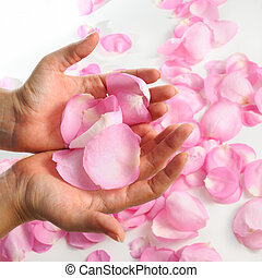 Rose petals - hand holding pink rose petals oer white...