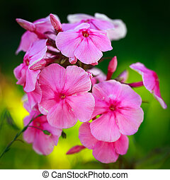flower - rose phlox flower