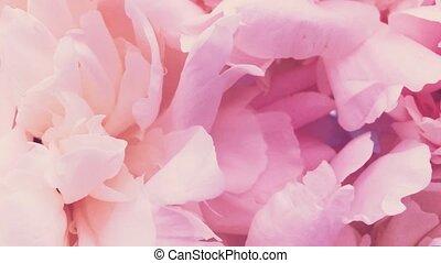 rose, pivoine, fleur, vacances, fleurs, arrière-plan pastel...
