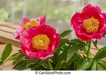 rose, pivoine, fleurs, fleurir