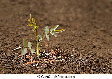 Rose plant in fertile soil with chemical fertilizer