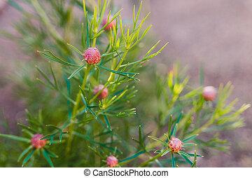 rose, plante, bonbon, buisson, cône, fleurs, isopogon, australien, indigène