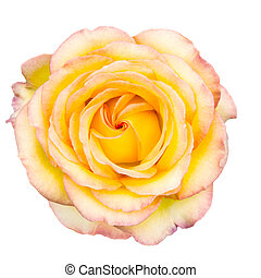 rose, pointes, rougir, blanc, jaune
