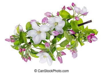 rose, pomme, macro, arbre, isolé, fleurs